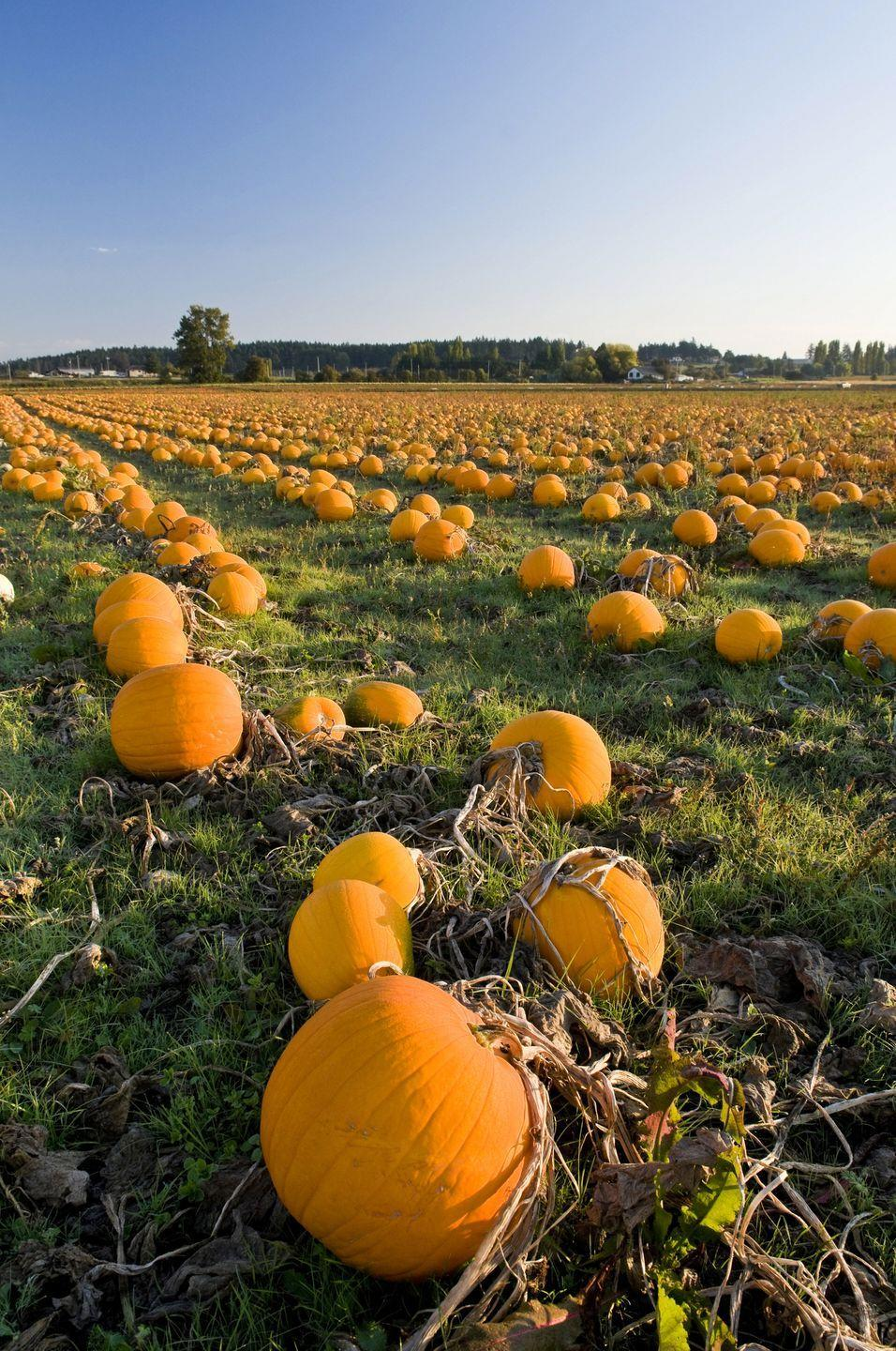"""<p><strong>Blue Ridge, Virginia </strong></p><p>We named this """"Best Pumpkin Patch in Virginia"""" in 2018. There are all the classic activities you'd expect at an over-the-top pumpkin patch, but that's just the beginning at <a href=""""http://www.laymanfamilyfarm.com/"""" rel=""""nofollow noopener"""" target=""""_blank"""" data-ylk=""""slk:Layman Family Farms"""" class=""""link rapid-noclick-resp""""><strong>Layman Family Farms</strong></a>. With your """"pumpkin tokens,"""" guests can use the corn cannon or the apple blaster (or both!). Tickets are $15 per person. Military and first responders should expect free admission on opening day.</p><p><em>*This photo is not from Layman Family Farms.</em></p>"""