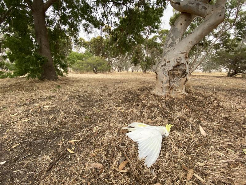 A photo taken by an Australian farmer showing a dead cockatoo after apparently falling from a tree in extreme heat.