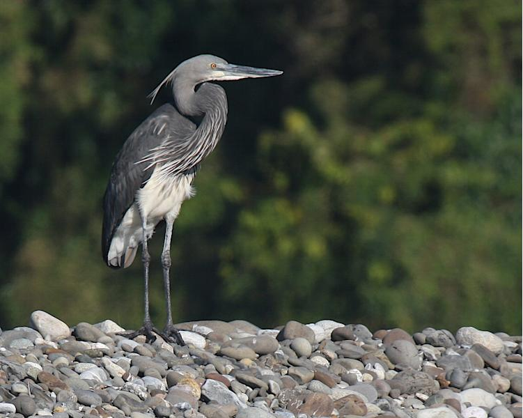 In this undated photo released by Robert Tizard of the Wildlife Conservation Society, a white-bellied heron stands in Hukaung Valley Wildlife Sanctuary, Myanmar. Positioned at the core of one of the world's richest biodiversity hotspots, Myanmar is endowed with plant and animal life of the flanking Himalayas, Malay peninsula, Indian subcontinent and mainland Southeast Asia. Myanmar is home to 1,099 of Southeast Asia's 1,324 bird species. (AP Photo/The Wildlife Conservation Society, Robert Tizard)
