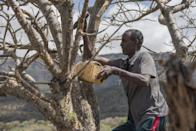 In this Thursday Aug. 4, 2016, photo, Mohamed Ahmed Ali wounds a frankincense tree near Mader Moge, Somaliland, a breakaway region of Somalia . These last wild frankincense forests on Earth are under threat as prices have shot up in recent years with the global appetite for essential oils, and overharvesting has led to the trees dying off faster than they can replenish, putting the ancient resin trade at risk. (AP Photo/Jason Patinkin)