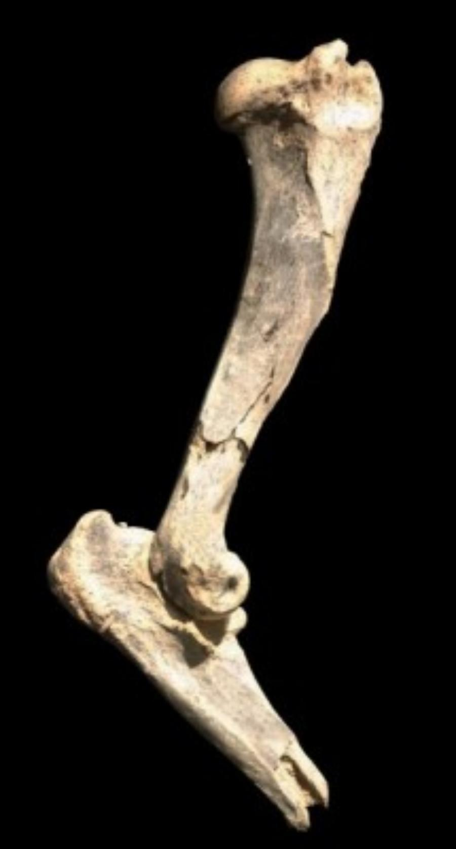 Researchers have identified a new species of saber-toothed cat that weighed 600 pounds, and hunted animals like rhinoceros and giant camels.