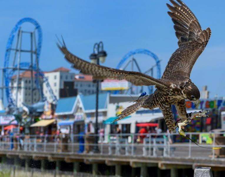 Blackberry, a peregrine-prairie falcon, lands on a post in Ocean City, New Jersey -- the bird is one of several helping to keep seagulls away from tourists, and their food