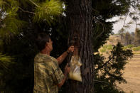 Christos Livas, 48, resin collector uses a tool on a pine tree in a pine forest near Agdines village on the island of Evia, about 185 kilometers (115 miles) north of Athens, Greece, Wednesday, Aug. 11, 2021. Residents in the north of the Greek island of Evia have made their living from the dense pine forests surrounding their villages for generations. Tapping the pine trees for their resin has been a key source of income for hundreds of families. But hardly any forests are left after one of Greece's most destructive single wildfires in decades rampaged across northern Evia for days. (AP Photo/Petros Karadjias)