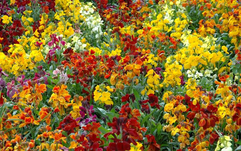Contrary to popular belief, you still have some time to sow wallflowers, like these Erysimum wallflowers, pictured - Alamy Stock Photo