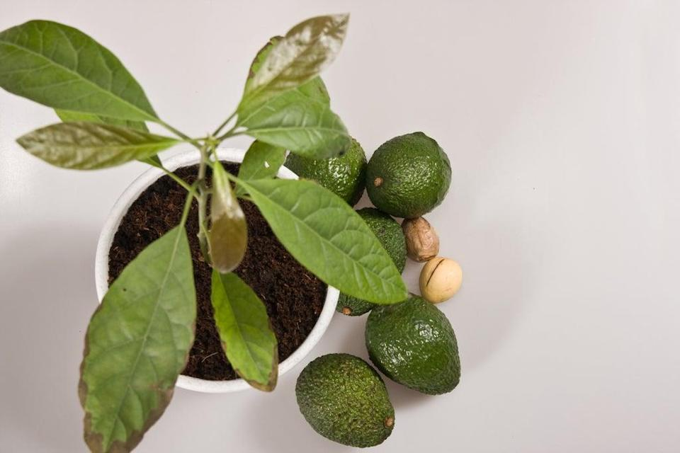 In the right conditions the plant may fruit. Could homegrown guac be around the corner?  (Alamy Stock Photo)