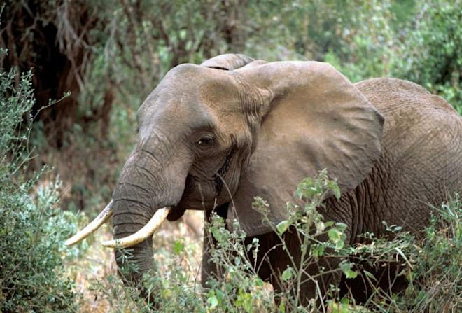 Poaching: Tragic decline of the African elephant population in numbers