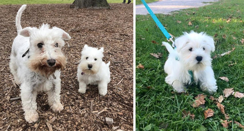 Tiny mini schnauzer dog Pipi with dwarfism has stopped growing at nine months.