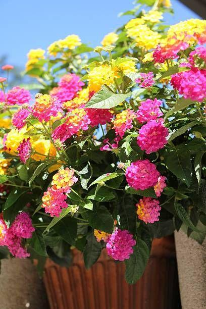 """<p>Lantana is as tough-as-nails. This annual blooms all summer with zero help from you! It is drought tolerant and loves the sun, so it won't fade when summer is sizzling. Pollinators love it! Lantana needs full sun.</p><p><a class=""""link rapid-noclick-resp"""" href=""""https://www.provenwinners.com/plants/lantana/luscious-royale-cosmo-lantana-camara"""" rel=""""nofollow noopener"""" target=""""_blank"""" data-ylk=""""slk:SHOP LANTANA"""">SHOP LANTANA</a></p>"""