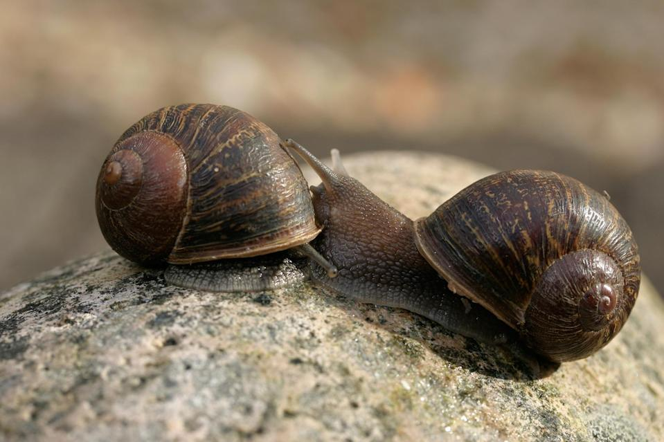 Love Is Patient: Rare Snail Finally Meets Mate Willing to Accept His Differences