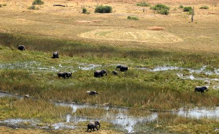 FILE PHOTO: A herd of elephants is seen grazing at a wildlife area, after reports that conservationists have discovered 87 of them slaughtered just in the last few months, outside Kasane in the northeastern corner of Botswana, September 20, 2018. REUTERS/Siphiwe Sibeko/File Photo