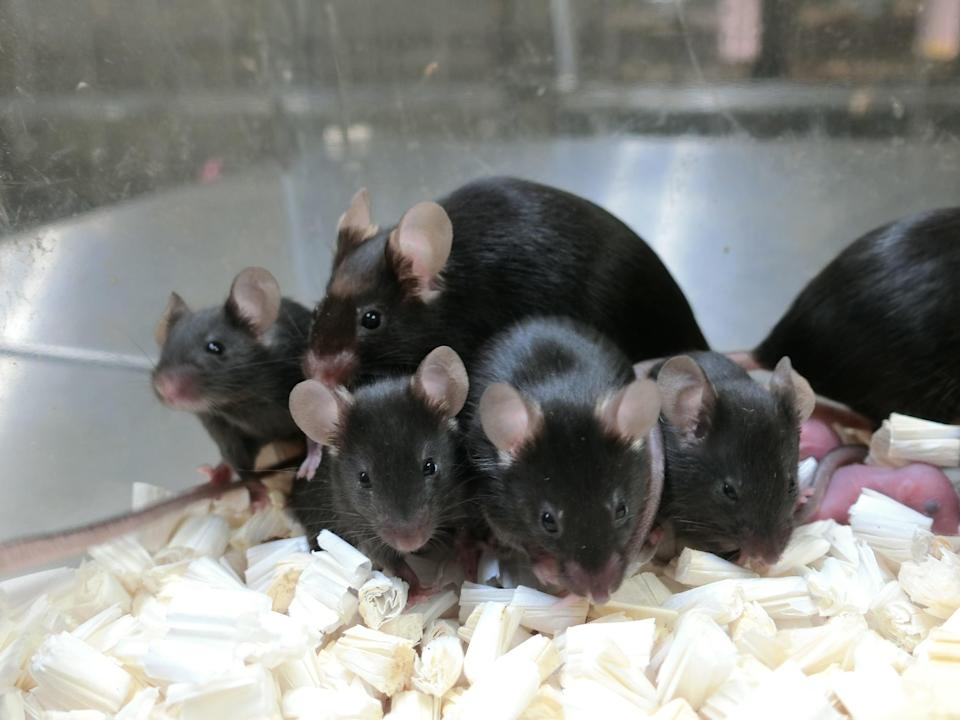 Picture taken of healthy offspring and next generation of mice derived from space-preserved sperm (Teruhiko Wakayama, University of Yamanashi)