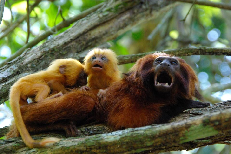 This undated photo provided by AMLD in June 2020 shows endangered golden lion tamarins which live in the wild only in Brazil's Atlantic rainforest. In the wake of the COVID-19 coronavirus pandemic, scientists monitoring the devastating impacts of yellow fever on golden lion tamarins are unable to work in closed forest reserves. (Andreia Martins/AMLD via AP)