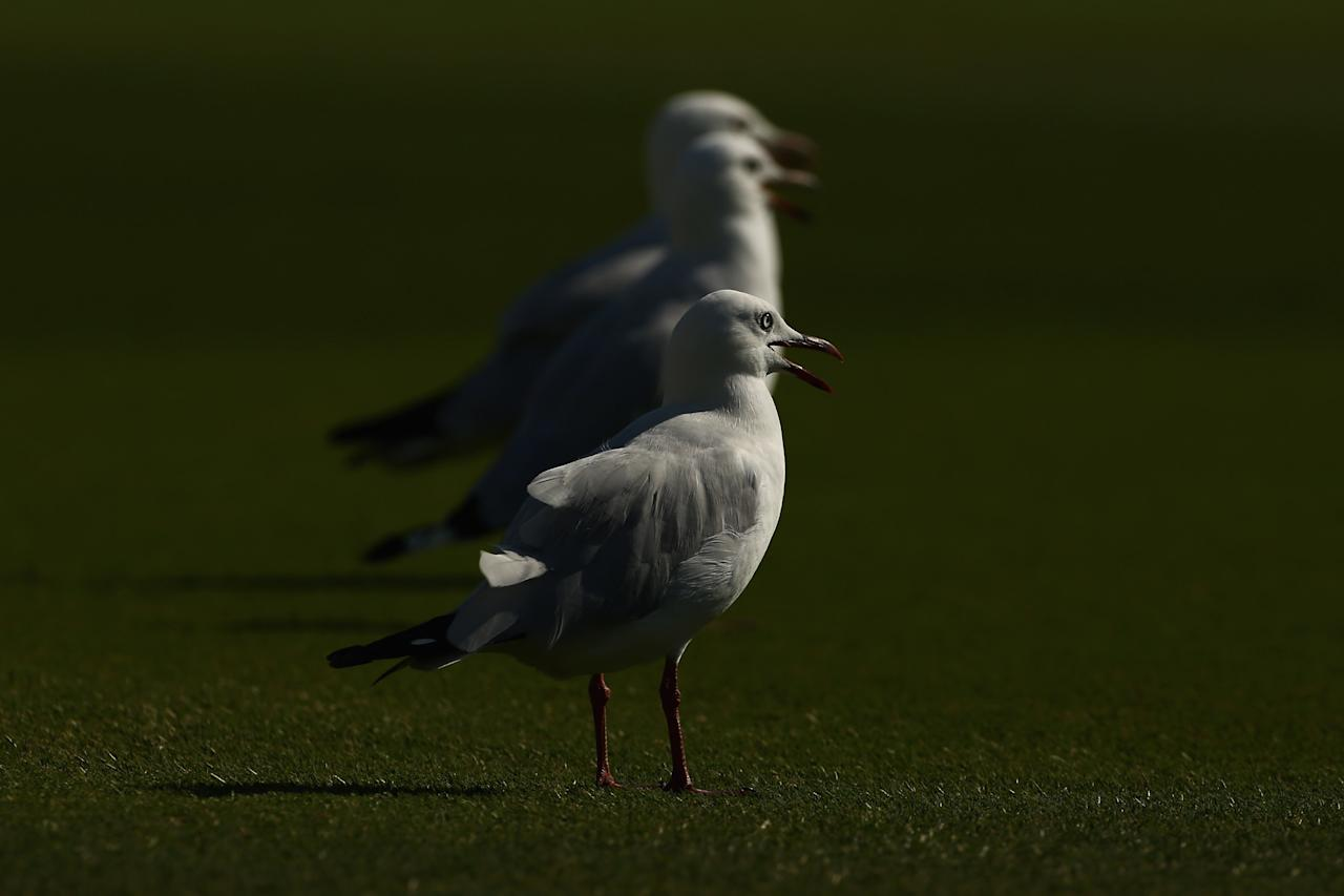 ADELAIDE, AUSTRALIA - NOVEMBER 25:  Sea gulls sit in the outfield during day four of the Second Test Match between Australia and South Africa at Adelaide Oval on November 25, 2012 in Adelaide, Australia.  (Photo by Mark Kolbe/Getty Images)