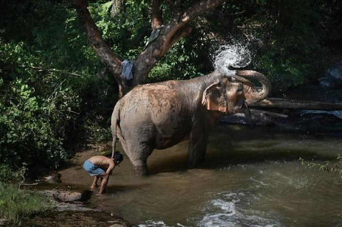 A female elephant bathing with her mahout at the ChangChill elephant sanctuary in the northern Thai province of Chiang Mai, which is working with World Animal Protection to ensure their welfare (AFP Photo/Lillian SUWANRUMPHA)