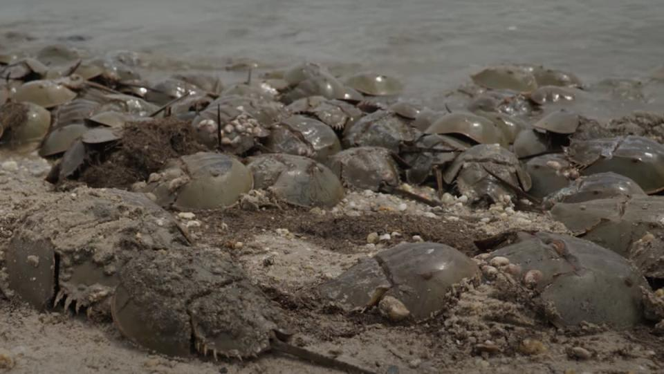 A bunch of horseshoe crabs covered in wet sand on a beach.