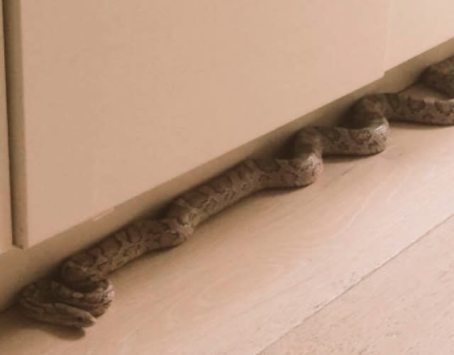 Woman finds large snake in kitchen and calls the police