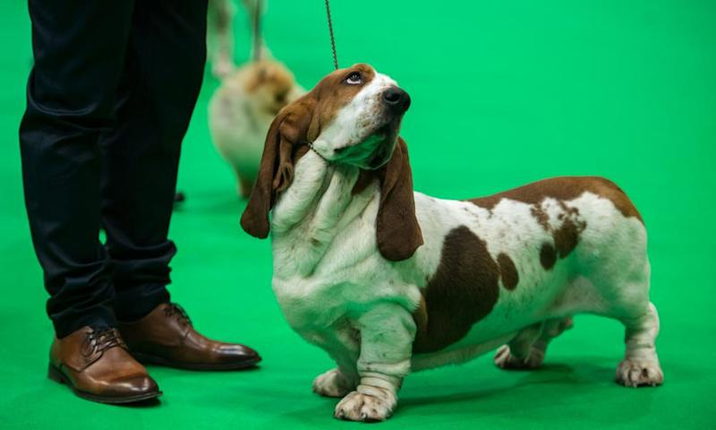 A basset hound at Crufts in 2019.