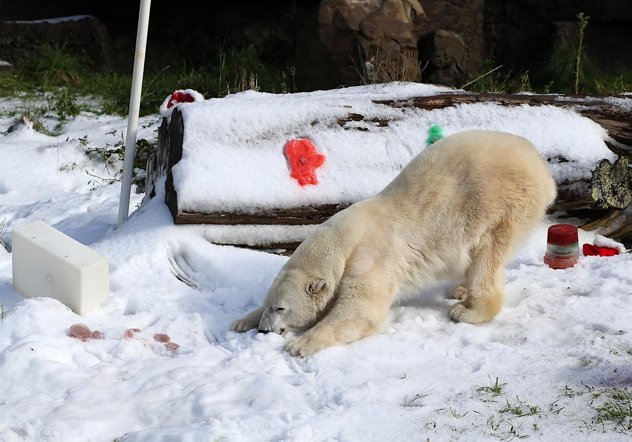 SAN FRANCISCO, CA - NOVEMBER 15:  Pike, a 30 year old Polar Bear plays in man made snow at the San Francisco Zoo on November 15, 2012 in San Francisco, California.  Two San Francisco Zoo Polar Bears, Pike (30) and Ulu (32)celebrated their birthdays with 10 tons of man made snow and special treats.  (Photo by Justin Sullivan/Getty Images)