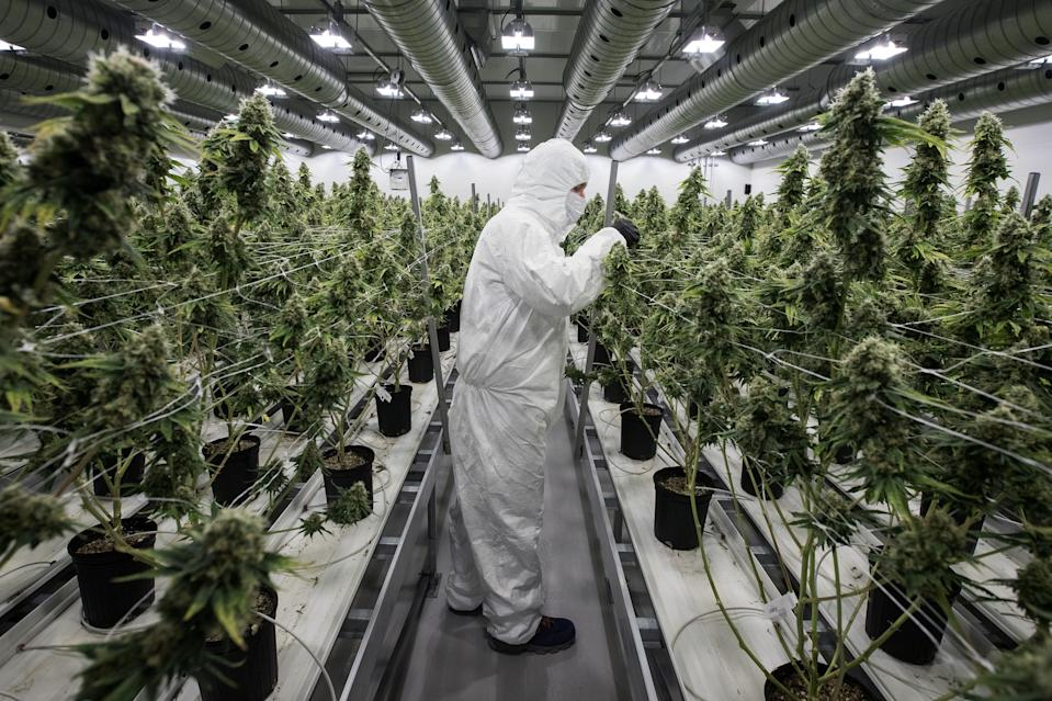 An employee with medicinal marijuana plants in the flowering room at Tweed INC. in Smith Falls, Ontario, on December 5, 2016. / AFP / Lars Hagberg (Photo credit should read LARS HAGBERG/AFP/Getty Images)