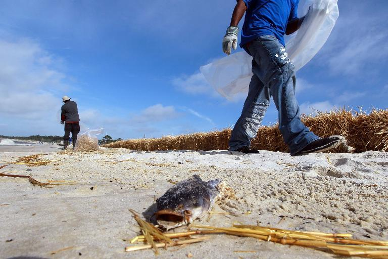 A dead fish lays on the beach as workers clean up hay placed to protect the beach from oil and tar balls from the Deepwater Horizon site on May 15, 2010 in Dauphin Island, Alabama