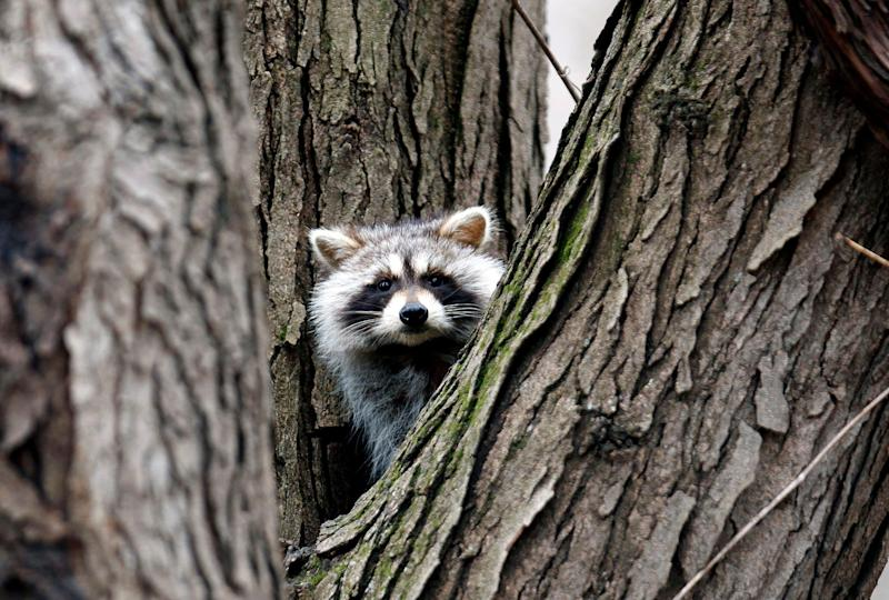 'Zombie raccoon' sightings: They stagger, show their teeth and may have glowing eyes
