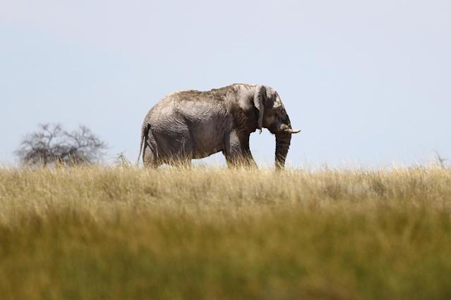 An elephant walks across the grassy plains near Batia waterhole in Etosha National Park in Namibia. (Photo: Gordon Donovan/Yahoo News)