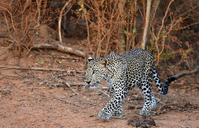 A leopard walking through Yala National Park in the southern district of Yala some 250 kms southwest of Colombo. Yala National Park is the most visited, and second largest, national park in Sri Lanka