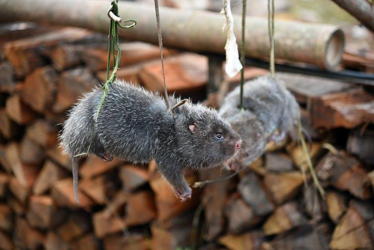 Two grey and furry rodents hang from green rope.