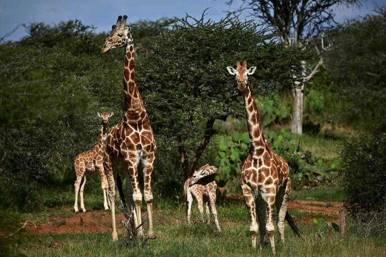 The African giraffe has been affected by habitat loss (AFP Photo/TONY KARUMBA)