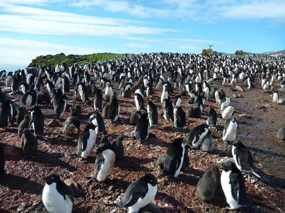 A colony of Adélie penguins on the West Antarctic Peninsula.