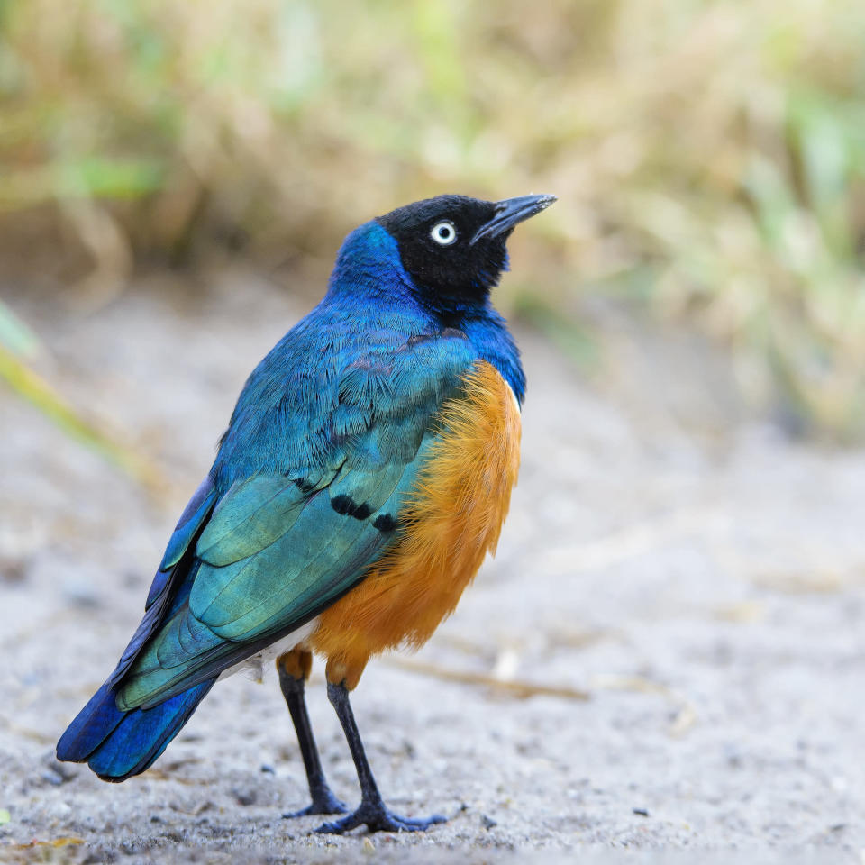 Close up portrait of a blue and orange vibrant-colored Superb Starling at the Tarangire National Park, Tanzania.