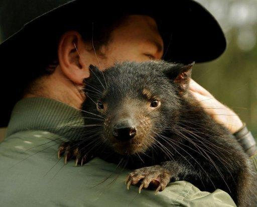 """Adrian Good, a keeper at Devil Ark in the Barrington Tops area of Australia's New South Wales, holds """"Scooter"""" a 14-month old Tasmanian Devil. At Devil Ark a group of endangered Tasmanian Devils are being taught to forage in the wild as researchers race to defeat a contagious cancer threatening the species with extinction"""