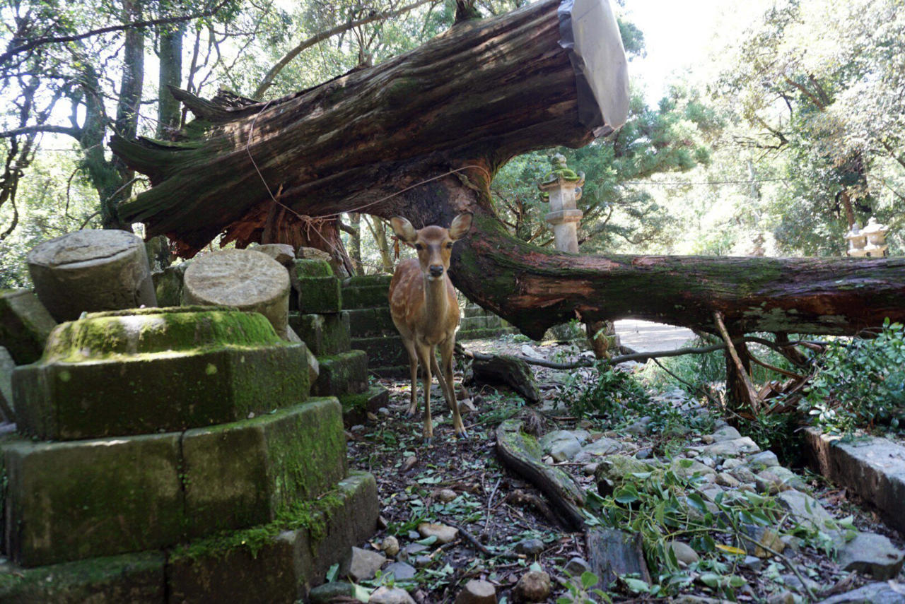 <p>A deer stands near a fallen tree at Kasugataisha shrine in Nara, western Japan Wednesday, Sept. 5, 2018. One of Japan's busiest airports remained closed indefinitely after the strongest typhoon to hit Japan in at least 25 years flooded a runway and other facilities while damaging other infrastructure as it swept across part of Japan's main island. (naranofuku via AP) </p>