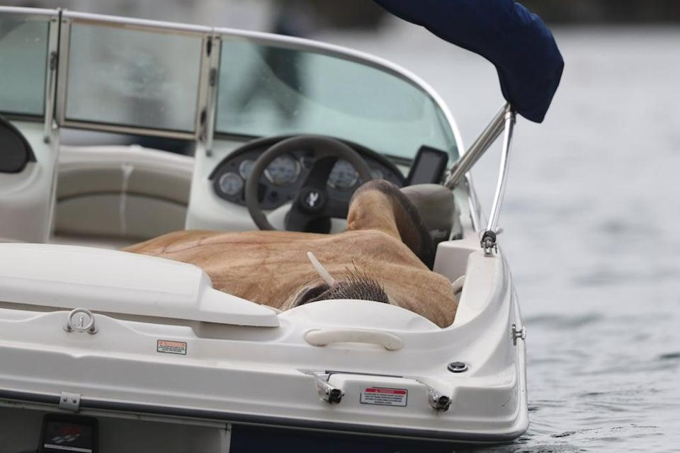 Wally the Arctic walrus relaxes on a boat off the coast of Cork (Niall Carson/PA) (PA Wire)