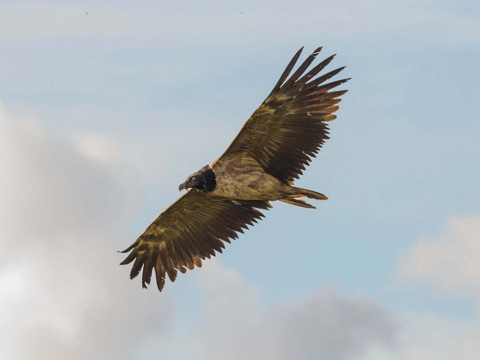 The bearded vulture, which has a wingspan of up to three metres, has only been seen in the UK once before: William Bowell/justwildimages.blogspot.com/PA Wire