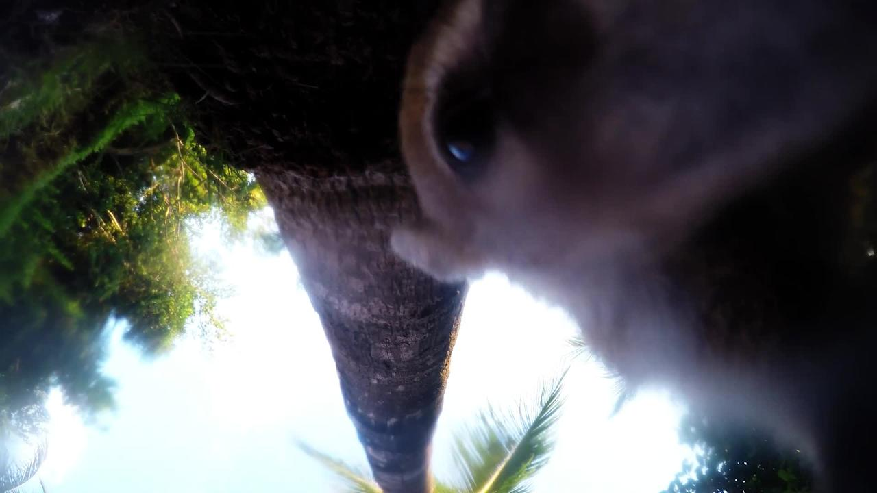 These playful baby coatis come out of the jungle at the edge of the resort every morning and evening. While they look for food they discover a GoPro camera that has been set up to record them. They begin rolling the camera around on the lawn and biting it in a game-like fashion. They even peer into the lens to provide us with some entertaining close-up footage!