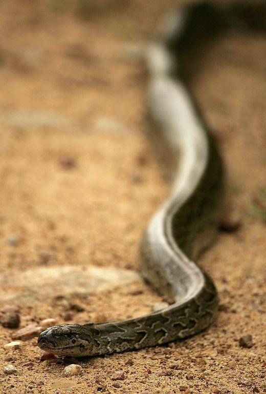 An African rock python on a dirt road in Kruger National Park in Mpumalanga, South Africa.
