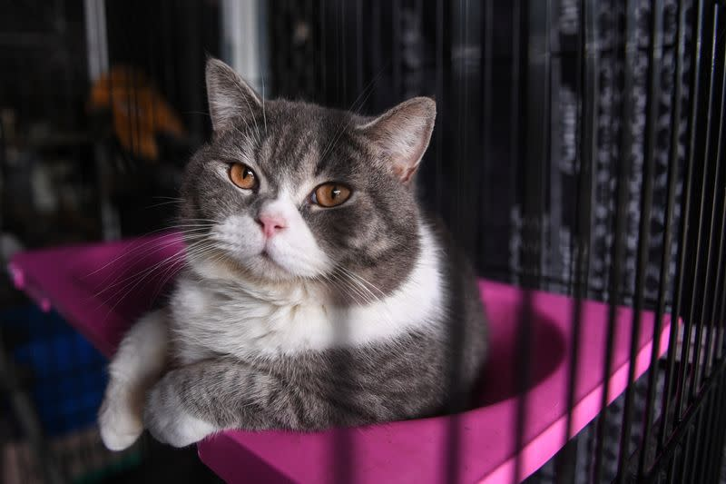 Auction of pedigree cats seized in drug bust, in Rayong province