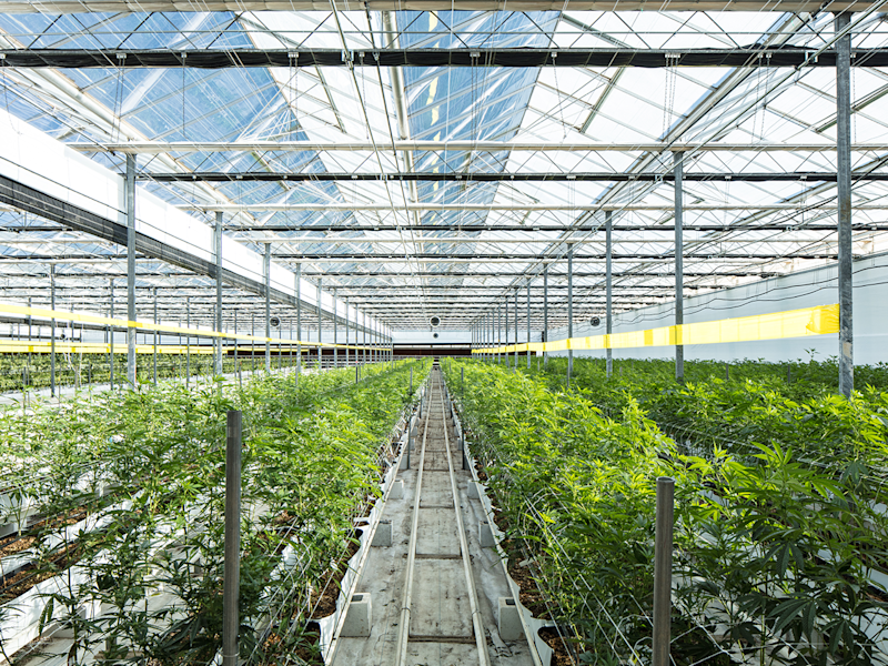 Covered greenhouse with rows of cannabis plants under piping and with aisles for access.