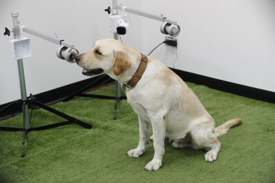 Bobby, a Labrador Retriever in training, sits in front of a sample of human sweat after detecting the COVID-19 coronavirus at the Veterinary Faculty of Chulalongkorn University in Bangkok, Thailand Friday, May 21, 2021. Thailand has deployed a canine virus detection squad to help provide a fast and effective way of identifying people with COVID-19 as the country faces a surge in cases, with clusters found in several crowded slum communities and large markets. (AP Photo/Sakchai Lalit)