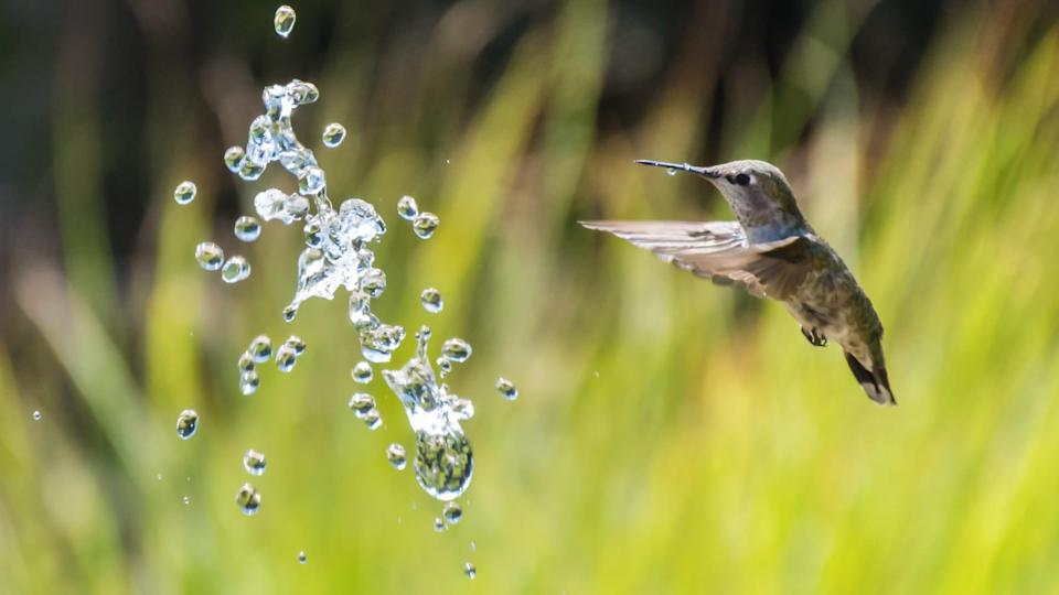 <p>Despite their super small size, hummingbirds are just like any other bird when it comes to water: they need to drink it and they also like to play in it. Hummers are particularly fond of moving water such as fountains, misters, and sprinklers.</p>