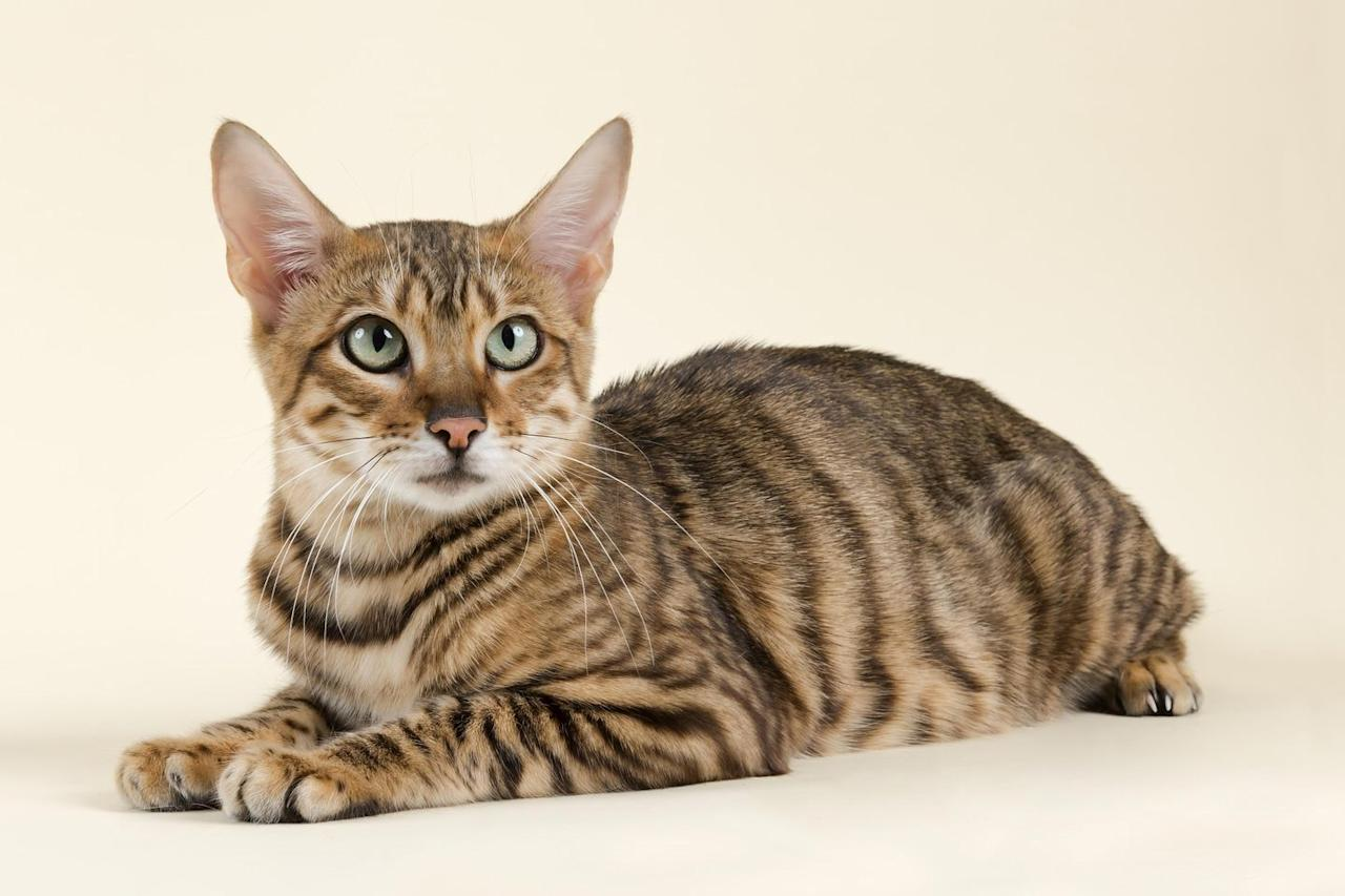 "<p>According to VetStreet, the Toyger is a <a href=""http://www.vetstreet.com/cats/toyger"" target=""_blank"">cross between a Bengal cat and a striped domestic shorthair</a>, resulting in a medium-sized cat with tiger-like branching stripes and orange-and-black or brown coloration. This muscular cat has a sweet, calm personality and is known for being outgoing and friendly, making it perfect for families (even those with small children and other pets!). </p>"