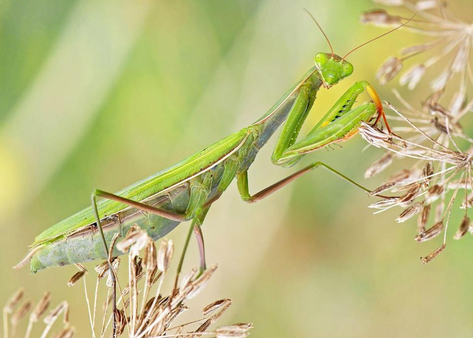 <p><strong>European Praying Mantis</strong><br><br>Connecticut upped its cool factor by picking this expressive insect as its state bug in 1977.</p>
