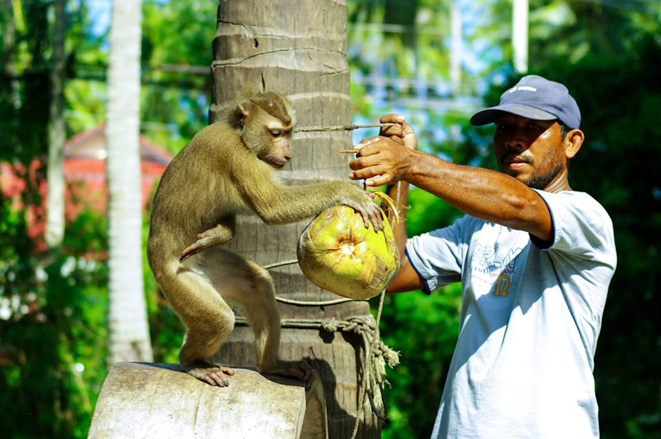 Monkey spinning the coconut in Samui Island, Thailand on 3 September 2011