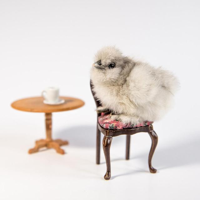 <p>A chick poses on a chair. (Photos: Alexandra C. Daley-Clark/sillychickens.com) </p>