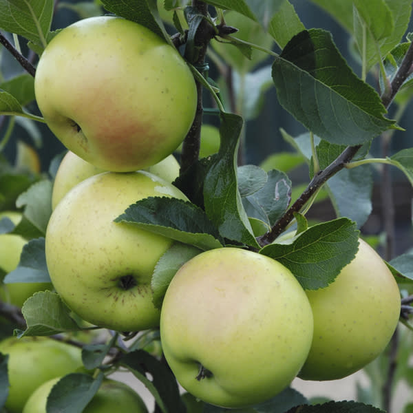 fruit trees to prune now: apple trees