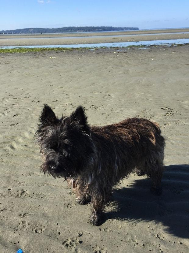 Callie is a 10-year-old Cairn terrier who sometimes gets into trouble.