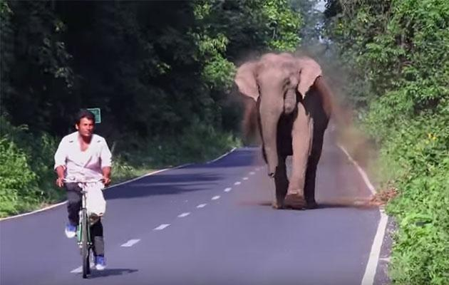 The elephant runs towards the cyclist to scare him off. Photo: YouTube