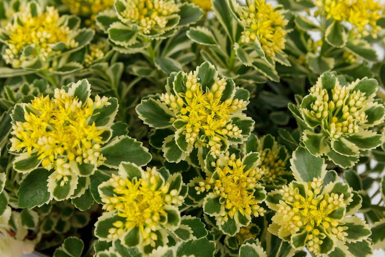 "<p><strong>WINNER – PLANT OF THE YEAR:</strong> Drought-tolerant, low-maintenance and a hardy stonecrop, Sedum Atlantis is an attractive, easy-to-grow, versatile, multi-functional plant. It forms 30cm high cushions of variegate foliage topped with yellow flowers from June to September. The serrated green leaves with creamy margins blush pink in autumn.</p><p>Attractive to insect pollinators, this cultivar was discovered as a sport on a nursery on the banks of Lake Michigan by grower Dave Mackenzie, who specialises in plants for ground cover, green roofs and walls.</p><p><a class=""body-btn-link"" href=""https://go.redirectingat.com?id=127X1599956&url=https%3A%2F%2Fwww.suttons.co.uk%2FGardening%2FPerennial-Plants%2FAll-Perennial-Plants%2FSedum-Plant---Atlantis_MH6210.htm&sref=http%3A%2F%2Fwww.housebeautiful.com%2Fuk%2Fgarden%2Fplants%2Fg27495270%2Fchelsea-flower-show-2019-plant-of-the-year-sedum-atlantis%2F"" target=""_blank"">BUY NOW</a></p>"