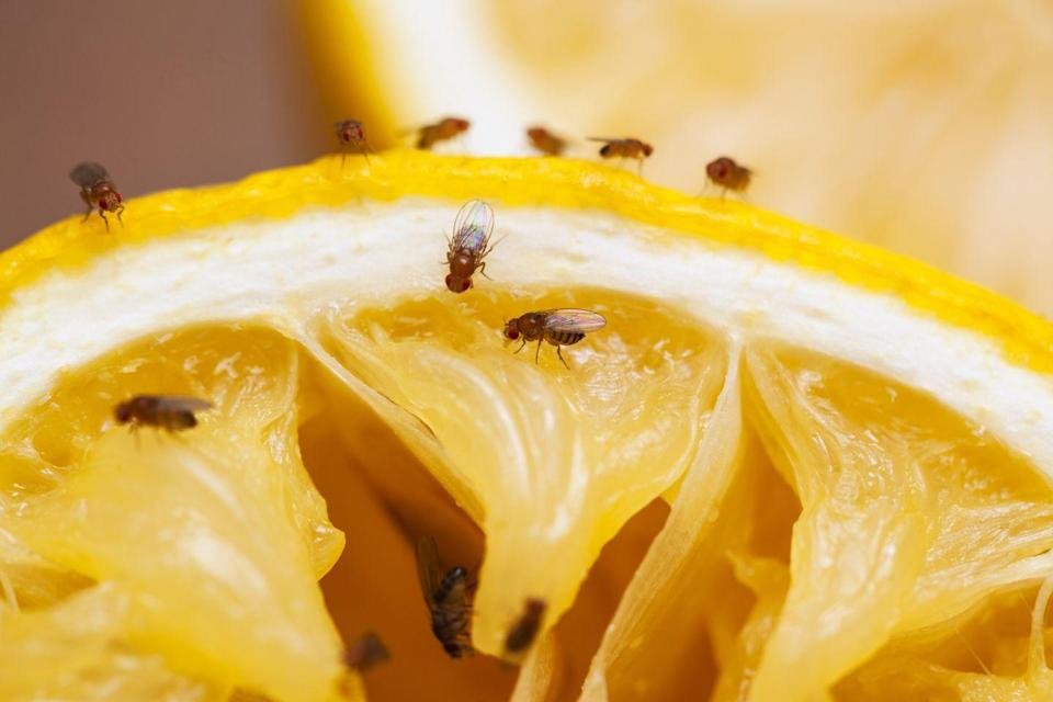 """<p><strong>What they look like</strong>: Fruit flies look like light brown flies, says Russell. They're usually very small—about 1/8 of an inch. """"There are two main types of fruit flies: the common red-eyed fruit fly and the dark-eyed fruit fly,"""" Ramsey says.</p><p><strong>Where you'll find them</strong>: Fruit flies like to hang out around fruit and produce, especially when it's ripe, rotting, or decayed, and they're also attracted to fermented items like beer, liquor, and wine, Ramsey says. """"Fruit flies also may <a href=""""https://www.prevention.com/life/a33850497/how-to-kill-fruit-flies-in-your-drain/"""" rel=""""nofollow noopener"""" target=""""_blank"""" data-ylk=""""slk:breed and develop in drains"""" class=""""link rapid-noclick-resp"""">breed and develop in drains</a>, garbage disposals, trash cans, and mop buckets,"""" he adds. </p><p><strong>Can they harm you? </strong>In general, Russell says that <a href=""""https://www.prevention.com/life/a29366872/how-to-get-rid-of-fruit-flies/"""" rel=""""nofollow noopener"""" target=""""_blank"""" data-ylk=""""slk:fruit flies are just a """"nuisance."""""""" class=""""link rapid-noclick-resp"""">fruit flies are just a """"nuisance.""""</a> But they have the potential to contaminate your food with bacteria and other pathogens, Ramsey says, which is why it's so important to store produce in air-tight containers or refrigerators and inspect any fruits or vegetables brought into your home. """"Also, establish a schedule to regularly clean drain lines, garbage disposals, and any location where food waste accumulates,"""" he says.</p>"""